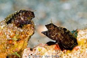 Sailfin blennie battle by Danny Van Belle