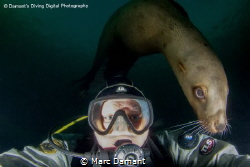 """""""Photo Bombed"""" The Stellar Sea Lions of Norris Rocks off ... by Marc Damant"""