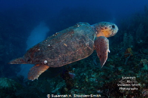 Sweet old loggerhead turtle taking a leisurely swim past ... by Susannah H. Snowden-Smith