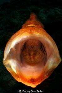 Jawning froggie by Danny Van Belle