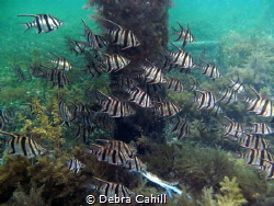 Schooling Old Wives Wool Bay Jetty South Australia by Debra Cahill