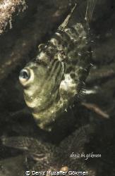 Lat. Stephanolepis diaspros by Deniz Muzaffer Gökmen