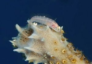 Starksia hassi Ringed Blenny Bonaire Dutch Antilles  Th... by John Roach