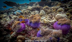 anemones by Mohamed Ahmed Rasheed