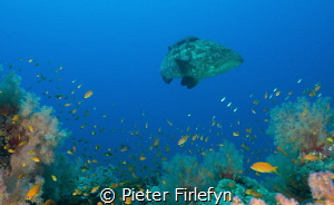 Large grouper with coral and marine life. by Pieter Firlefyn