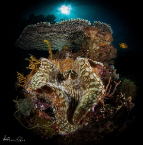 Sparkle city. Giant Clam at Table Coral city in Wakatobi.... by Steven Miller