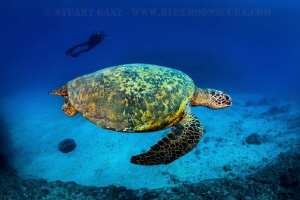 Green sea turtle swimming by as diver looks on. by Stuart Ganz