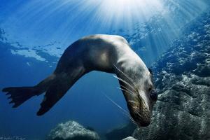 sea lion choreography (los islotes) by Mathieu Foulquié