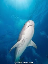 Tiger shark from above at Tiger Beach by Matt Barkkume