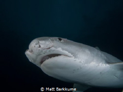 Small tiger shark with fresh cuts around the eye by Matt Barkkume