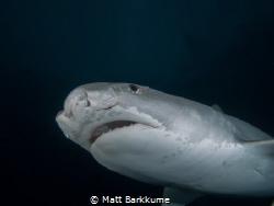 Small tiger shark with fresh cuts around the eye by Matt Barkkume