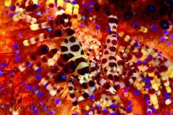 Coleman shrimp Urchin Commensal Shrimp Anilao Philipine by Wei-Lun Hsieh