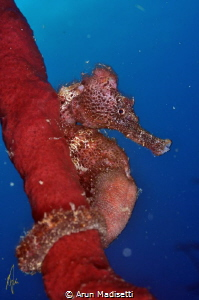 Lined seahorse, Hiippocampus reidi by Arun Madisetti