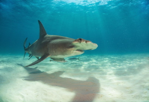 An unmistakeable shadow - Great Hammerhead basking in the... by Spencer Burrows