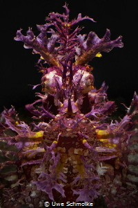 Deep Purple - rhinopias frondosa by Uwe Schmolke