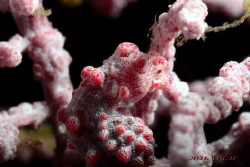 Pygmy Seahorse by Wei-Lun Hsieh