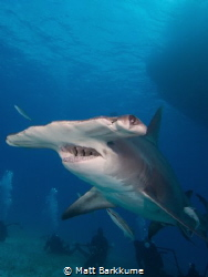 Hammerhead in Bimini by Matt Barkkume