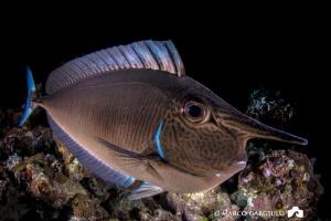 Unicornfish by Marco Gargiulo
