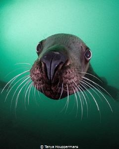 'Whiskers'- A Steller sea lion comes in for a closer look... by Tanya Houppermans