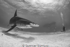 Great Hammerhead with distant diver. by Spencer Burrows