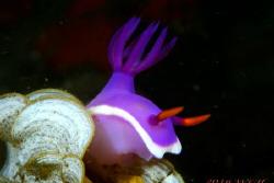 Nudibranch Risbecia apolegma by Wei-Lun Hsieh