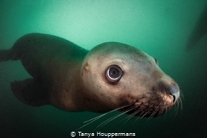 'Little Munchie' - Steller sea lions are the puppies of t... by Tanya Houppermans