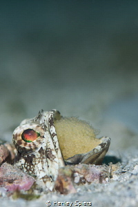 The Most Virile Jawfish in Saint Lucia by Henley Spiers
