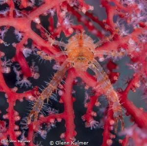 Squat Lobster - Tulamben,Bali Canon 7D w/60mm macro by Glenn Kulmer