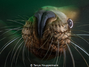 'Nosy'- I've never been around an animal underwater who's... by Tanya Houppermans