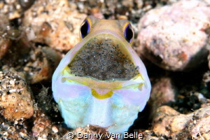Jawfish with eggs by Danny Van Belle