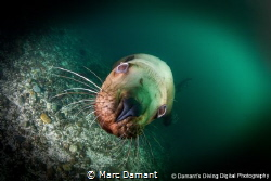 A whiskery close up. A Stellar Sea Lion closes in for a w... by Marc Damant