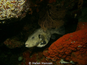 Map Puffer fish by Helen Hansen