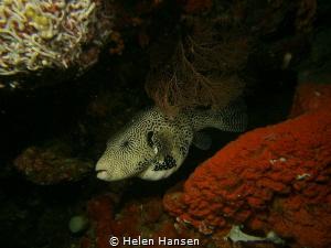 Map Puffer fish by Helen Hansen