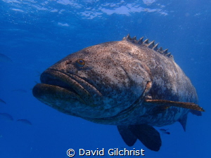 Goliath Grouper at Buoy 19, Looe Key off the Florida Keys. by David Gilchrist