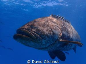Goliath Grouper at Buoy 19, Looe Key off the Florida Keys. by David Gilchrist