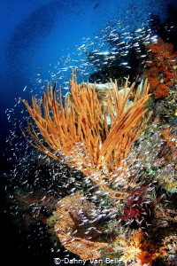 The reefs of Raja Ampat by Danny Van Belle