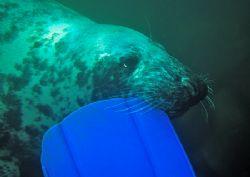 Playful seal. St. Tudwals' Islands, N. Wales. Last week... by Mark Thomas