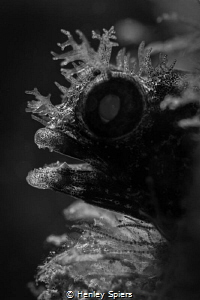 Backlit Roughhead Blenny by Henley Spiers