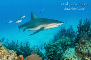 Shark with fishes, Half moon Caye Beliza by Alejandro Topete