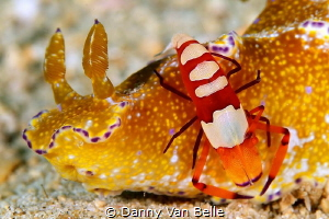 Ceratosoma slug with emperor shrimp by Danny Van Belle