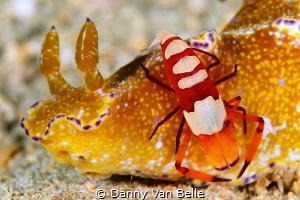 Ceratosoma slug with emperor shrimp by Danny Van Belle