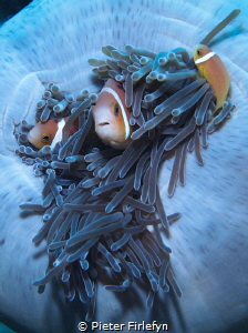 clownfishes by Pieter Firlefyn