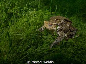 Quak  Erdkröte (Bufo bufo)  Shot in a lake in Switzerla... by Marcel Waldis