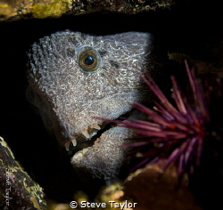 Wolf eel at Fantasea Island, near Port Hardy, Canada. Nik... by Steve Taylor