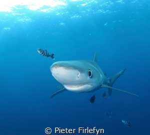 Happy blue shark by Pieter Firlefyn