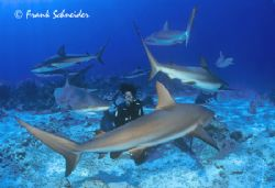 Sharks surrounding a diver - real photo, no photoshop-tri... by Frank Schneider
