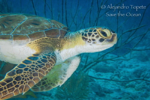 Baby Turtle in the Reef, Alice in wonderland Bonaire by Alejandro Topete