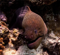 Giant Morey Eel. As the name suggests, it is a large eel,... by Nando Cebrián