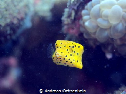 Box fish by Andreas Ochsenbein