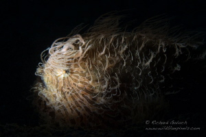 Hairy Frogfish-Lembeh. by Richard Goluch